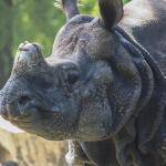 Nashorn im Zoo Hellabrunn