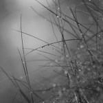 Regentropfen an Grashalmen