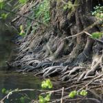Baumwurzeln am Ufer der Rodach