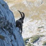 Alter Steinbock in einer Felswand