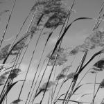 Schilfhalme im Wind