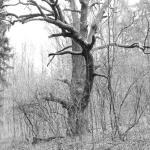 Ruheiche bei Bad Rodach
