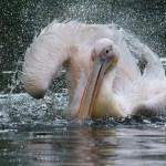 Pelikan beim Bad
