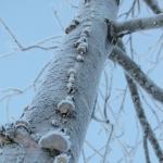 Baum mit Rauhreif und Baumpilzen