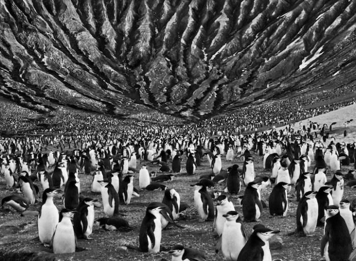 Sebastiao_Salgado_Genesis_pingüinos barbijo