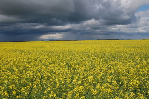 Monsanto Canola