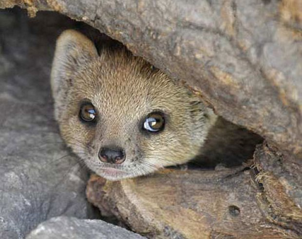 mongoose in its burrow