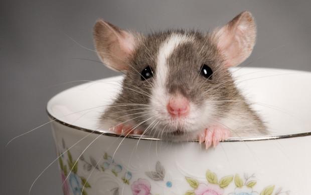rat in cup