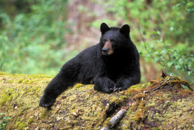 Black Bear lying on log