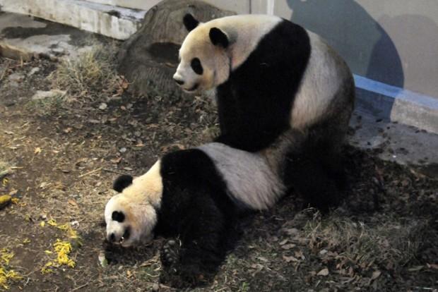panda zoo animals
