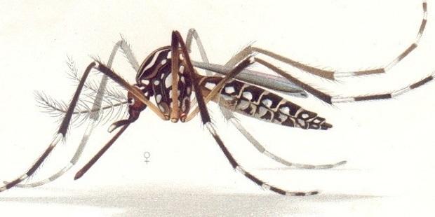 Zika mosquito illustration