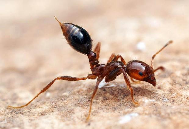 Venomous fire ant