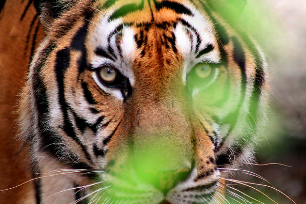 Photo of Cambodia tiger