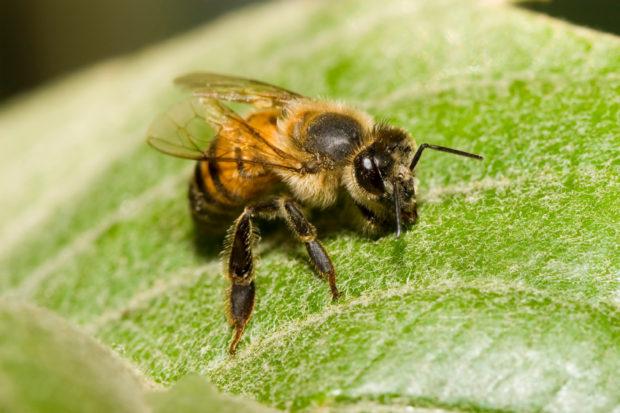 Venomous bee