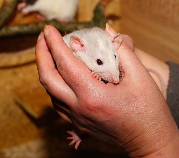 Photo of person holding rat