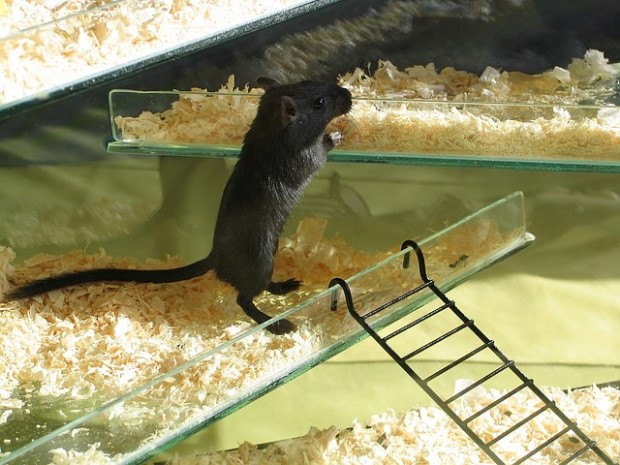 Photo of rat preparing to walk on ladder