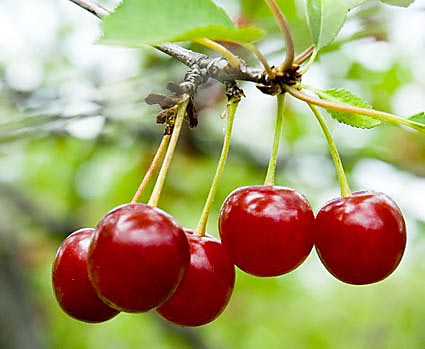 1-cherries-on-the-tree.jpg