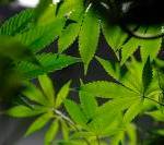 Colorado Symphony Makes Marijuana Concerts Invitation-Only