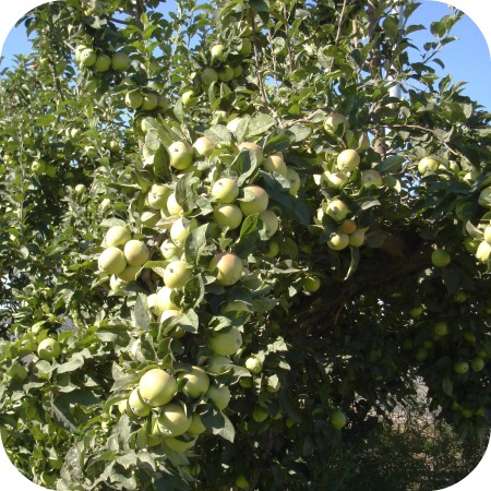 Apples #1 2013