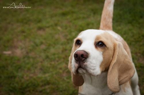 Medium Of Do Beagles Shed