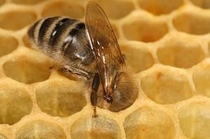 Apis bee in honeycomb