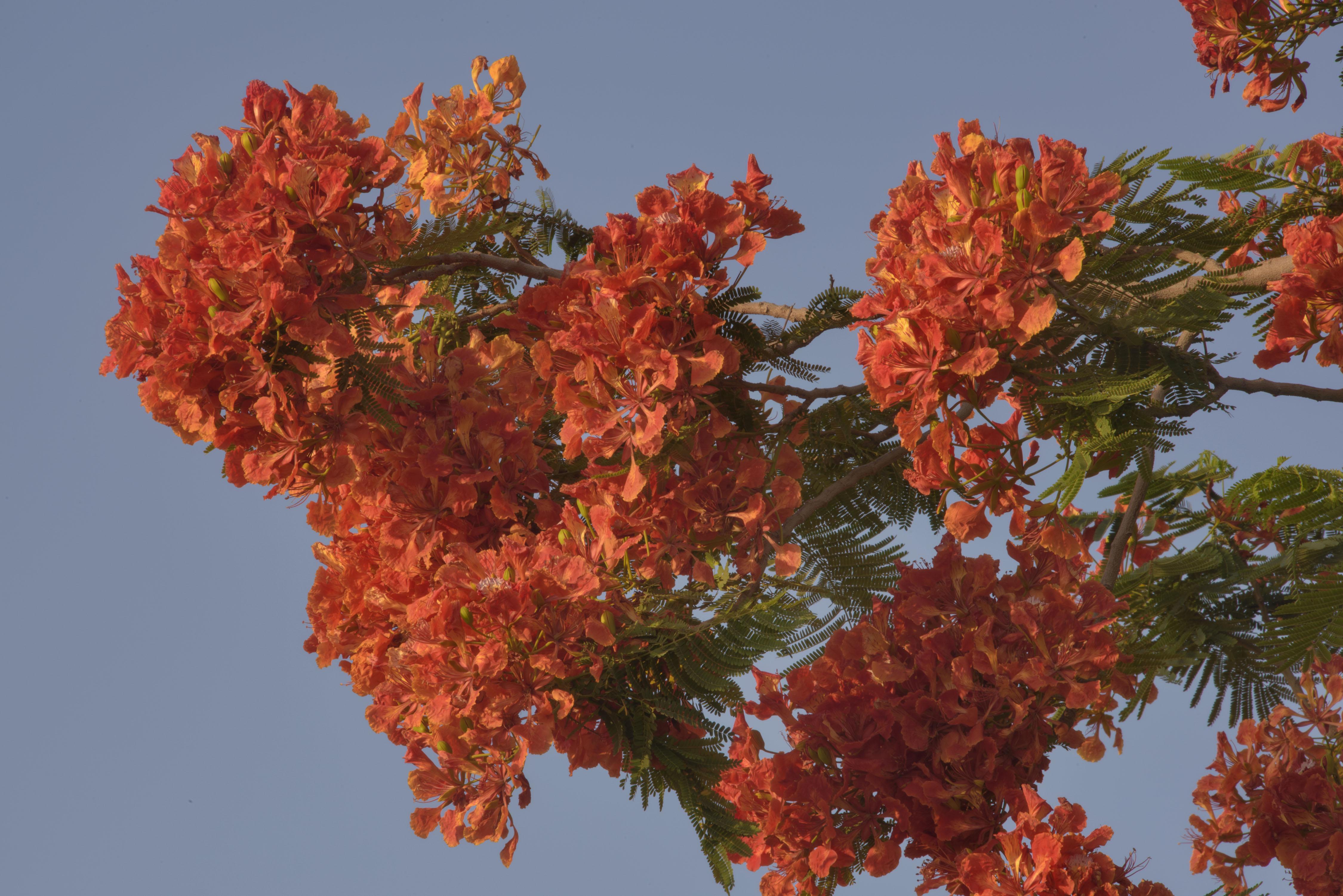 Magnificent Doha Abu Samra Blooming Royal Poinciana Tree Flamboyant Royal Poinciana Tree Care Royal Poinciana Tree California houzz 01 Royal Poinciana Tree