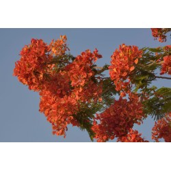Small Crop Of Royal Poinciana Tree