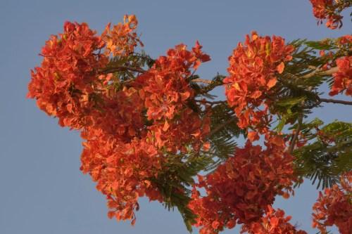 Magnificent Doha Abu Samra Blooming Royal Poinciana Tree Flamboyant Royal Poinciana Tree Care Royal Poinciana Tree California