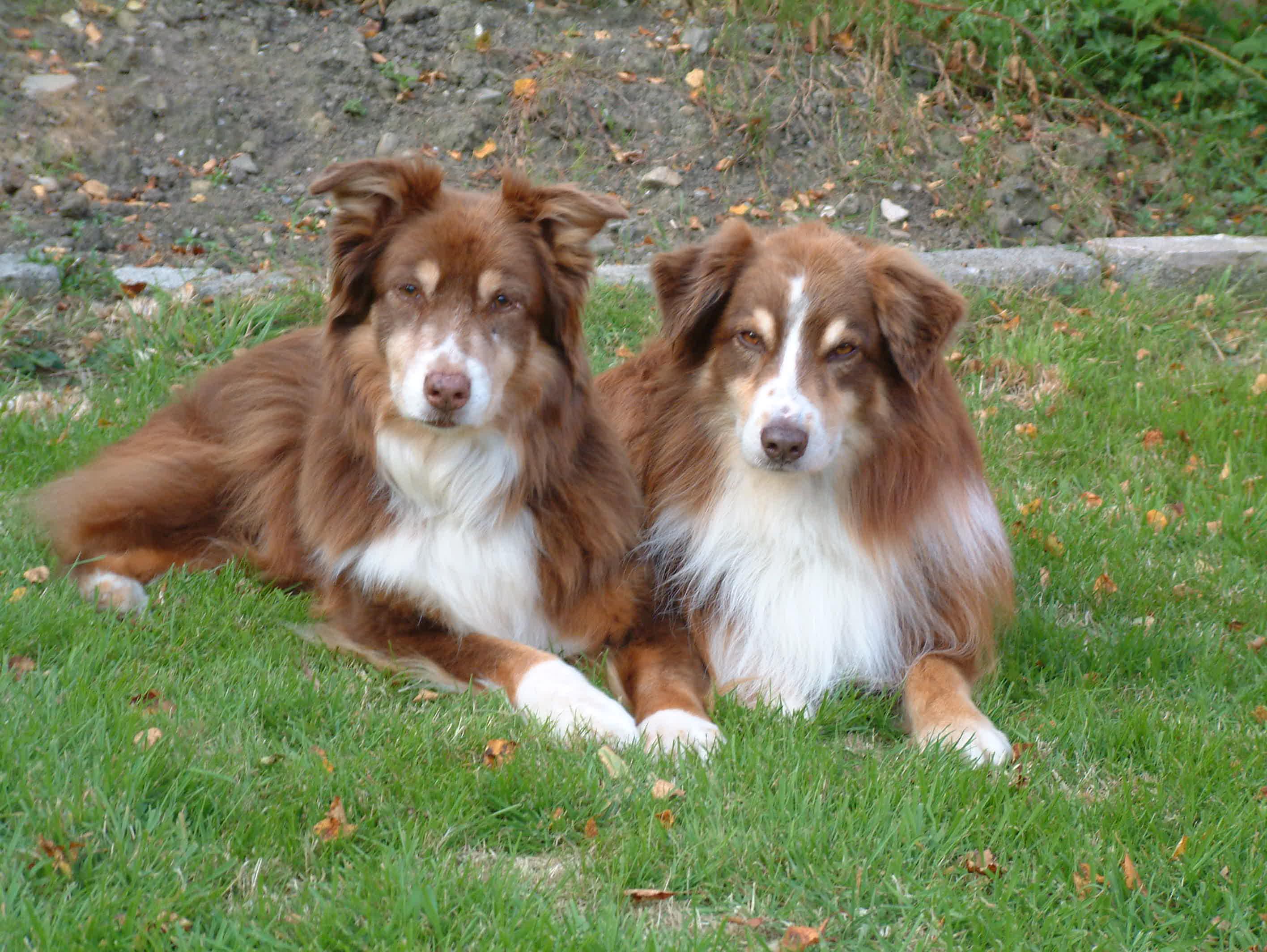 Fullsize Of Red Dog Breeds