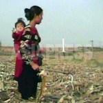 (참고사진) 아기를 업은 여성이 옥수수 밭에서 떨어진 열매를 줍고 있다. (2008년 10월 은율군, 심의천 촬영)