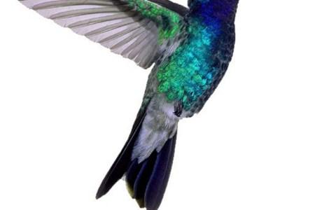 awesome colored colibri tattoo design