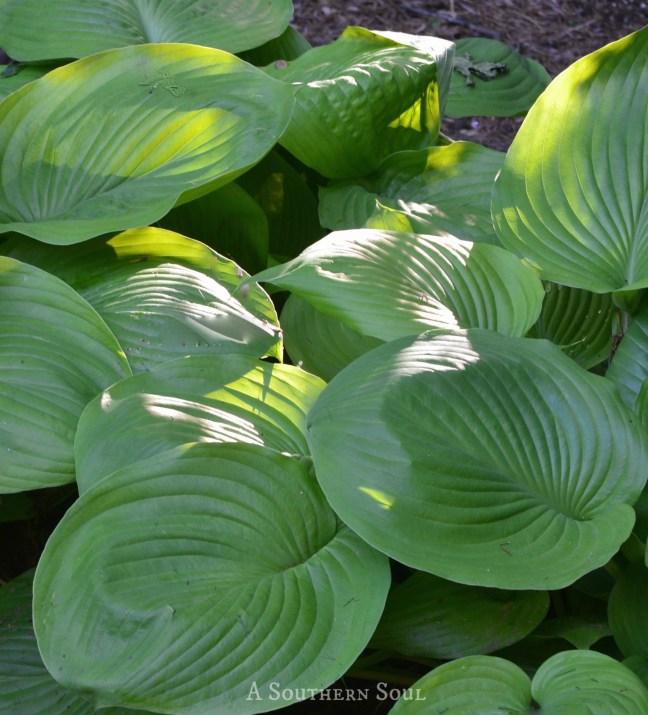 elephant leaf green Hosta