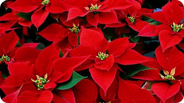 Stella-di-Natale-come-curarla-e-farla-fiorire-1