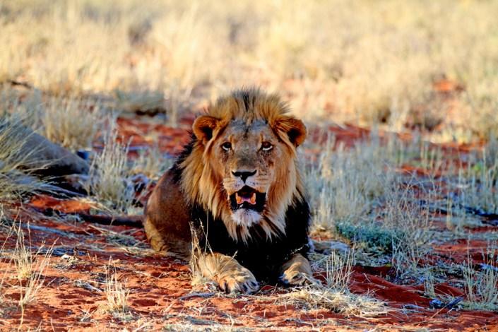The Kalahari Lion