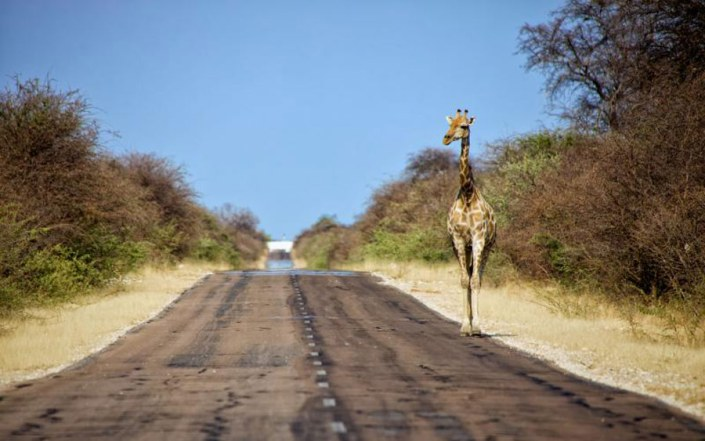Namibia - Giraffe on an Etosha Safari
