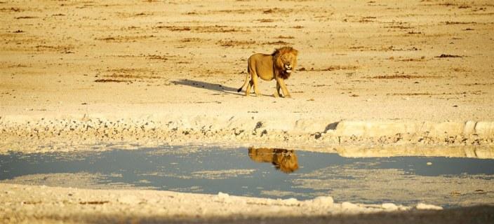 Namibia Luxury Safari - Lion in Etosha