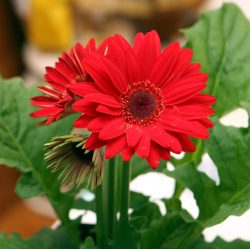 Small Crop Of Gerbera Daisy Annual Or Perennial