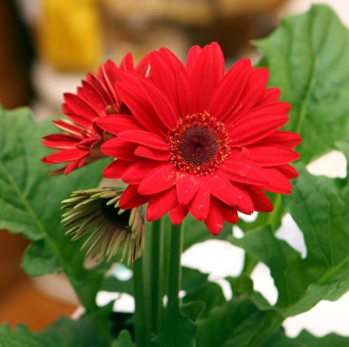 Medium Of Gerbera Daisy Annual Or Perennial
