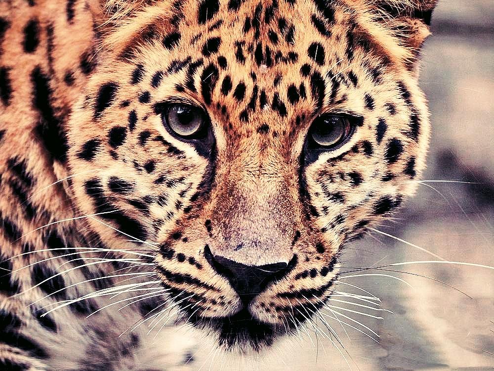 leopard_Fotor_Fotor