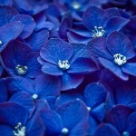 Blue-Flowers-flowers-33698240-1366-768