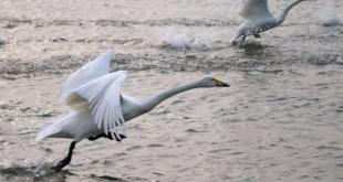 314只天鹅,其中99只感染H5N8死亡,其余天鹅已被全部销毁。(网络图片)
