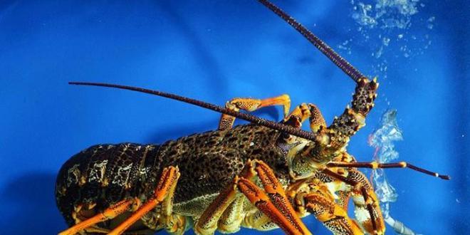 西澳龙虾遭偷捕 渔业厅长斥责
