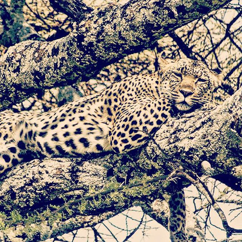 leopard serengeti in a tree