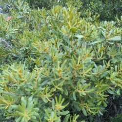 Small Of Wax Myrtle Tree