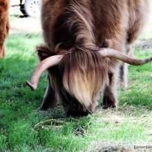 Ennerdale Highland Cattle - The Ennerdale Advantage