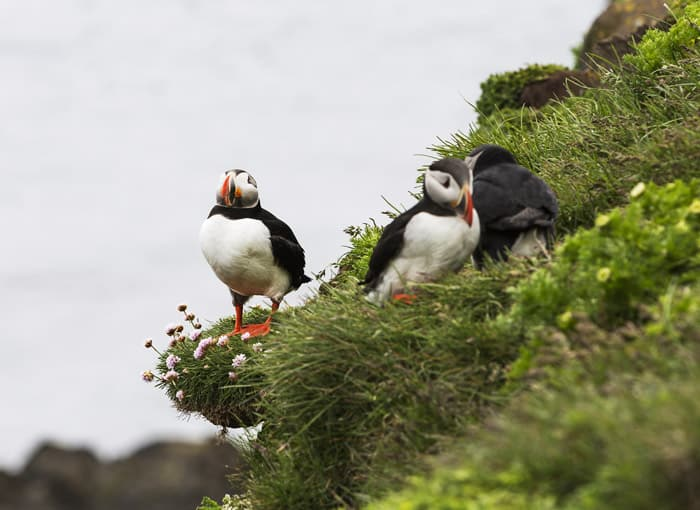 Puffins in Iceland!