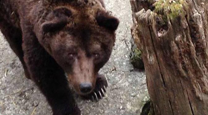 Plus de 1500€ collectés pour l'ours Bruno en Italie !