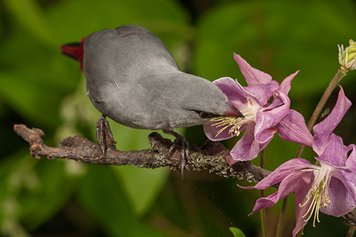 Lavender Waxbills can be quite productive in captivity but therefore they need the correct nutrition and an appropriate housing-condition.