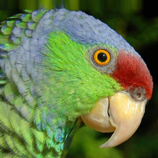 Lilac-crowns are on the small side, compared to other Amazon parrots, averaging 30.5 - 34.5 cm from head to the tip of the tail.