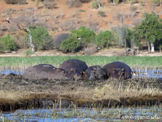 chobe_safari_botswana_07